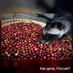 Пальмовая циветта: Самый дорогой кофе в мире