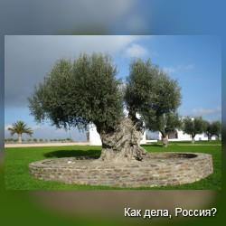 Что мы знаем об оливках?